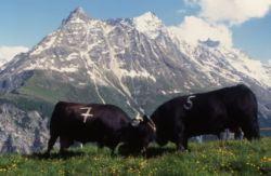 Combat de vaches d'Hérens